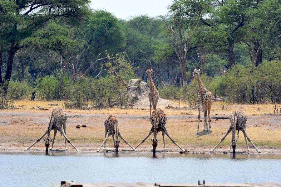Drinking Giraffts.jpg