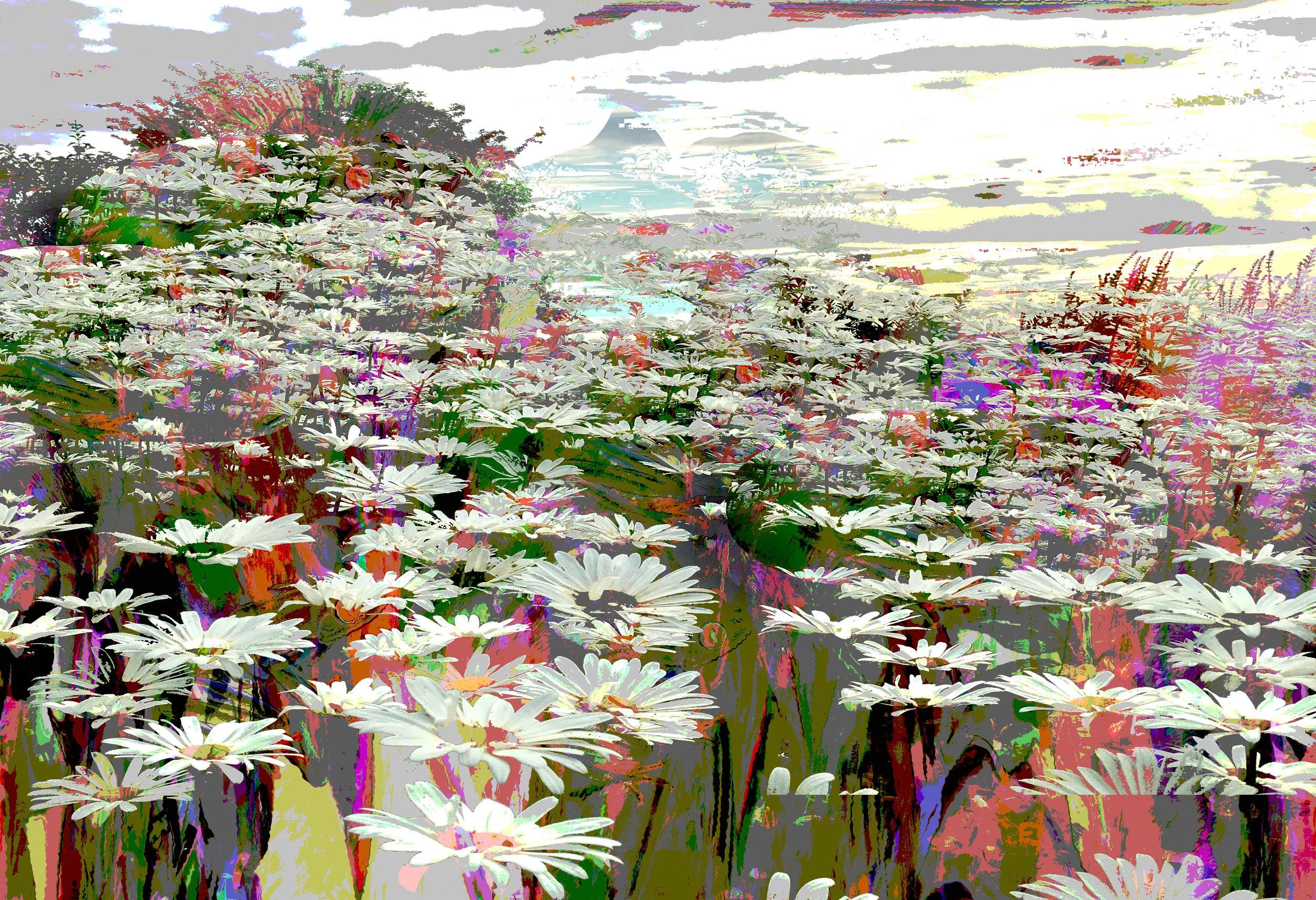 Field of daises.jpg