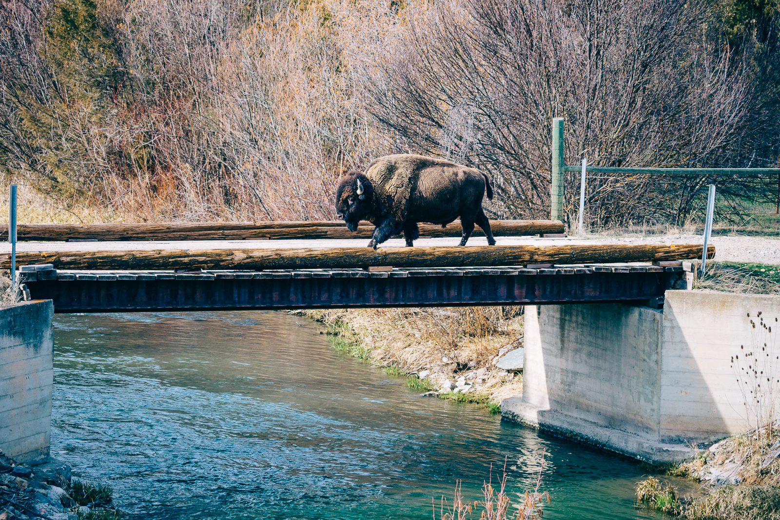 Not a Water Buffalo   - National Bison Range, MT 2018