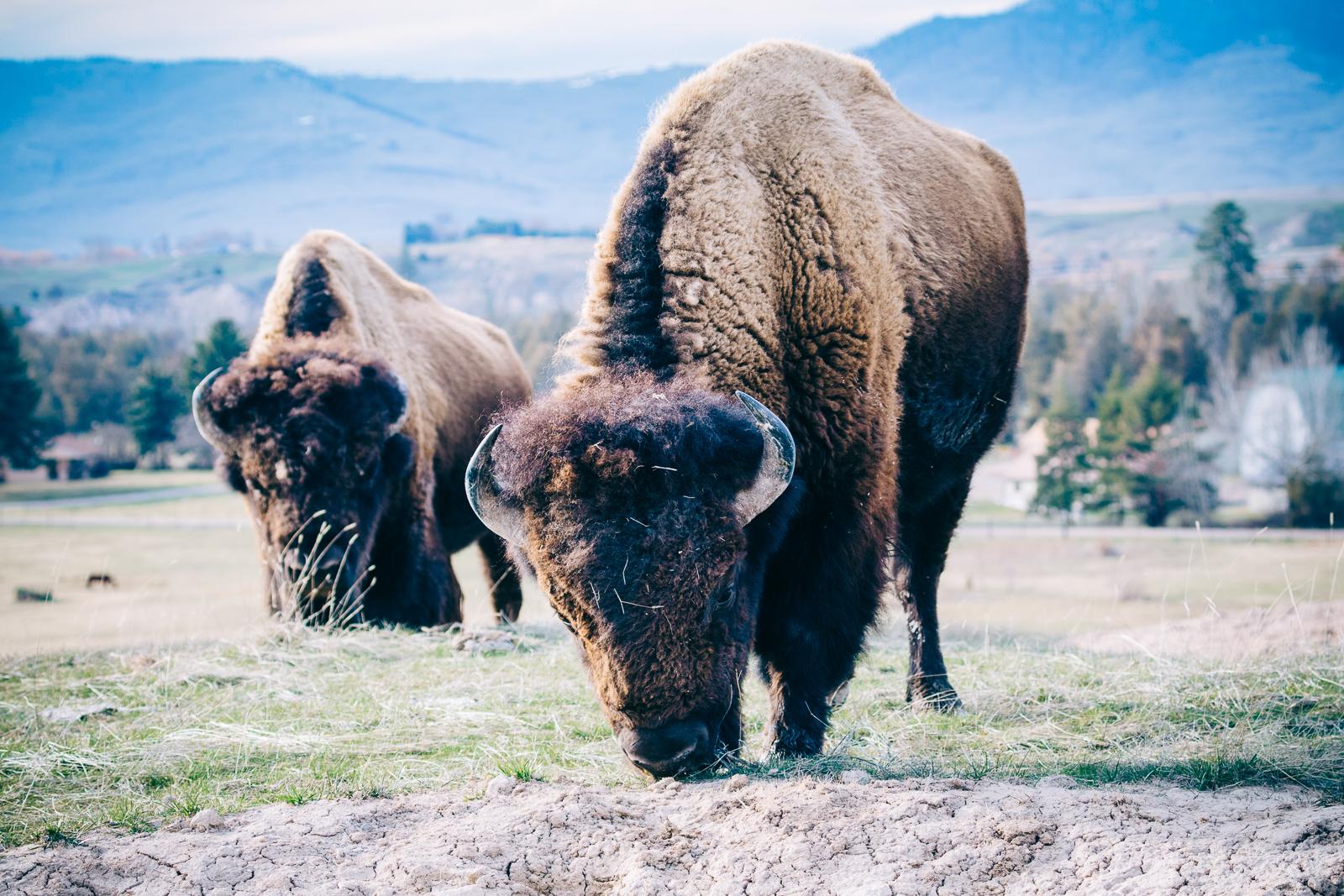 Munch Team   - National Bison Range, MT 2018