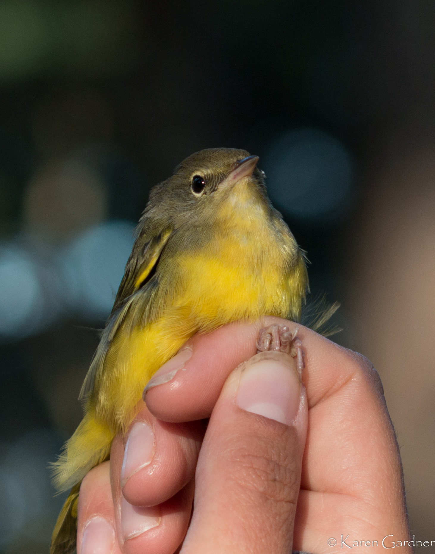 mourning warbler 1-9862.jpg