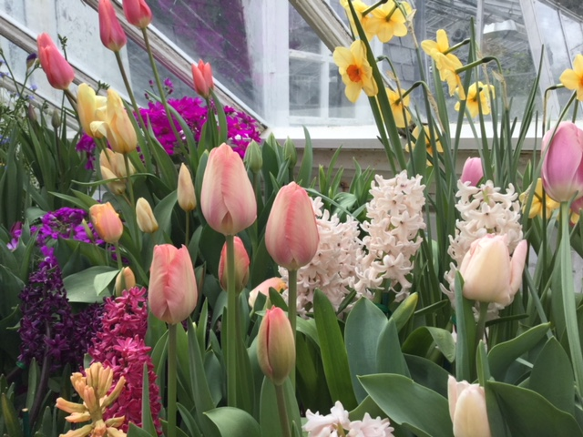 Spring color at the Mount Holyoke College Botanic Garden's annual flower show