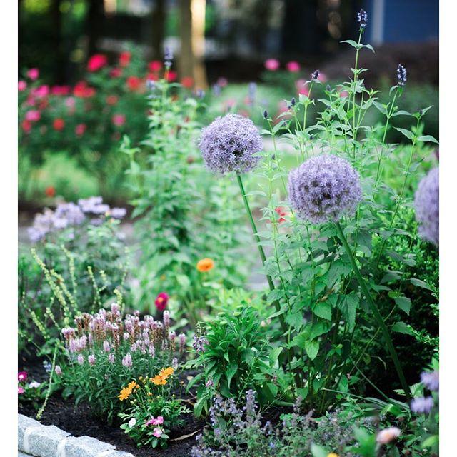 Another exquisite capture by @annamherbst of this garden exploding with Alliums. #flowersfeedthesoul #flowerstalker #gardenstyle #gardenlove #zengarden #flowersofinstagram #flowerstagram #instaflowers  #flowersofinstagram #flowersinbloom #floralstyles_gf  #cottagestyle #cottagegarden  #all_gardens #garden_styles #springgarden #springflowers #salvia #sage #allium