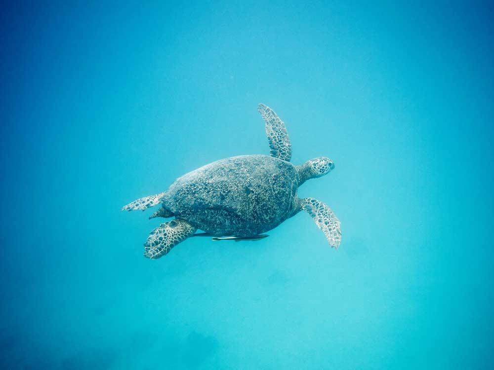 Ratua_Giant_Turtle.jpg