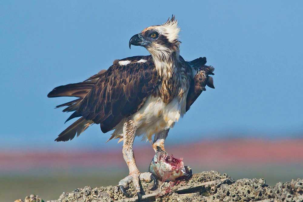 CREDIT-Nigel-Jackett_Eastern-Osprey.jpg