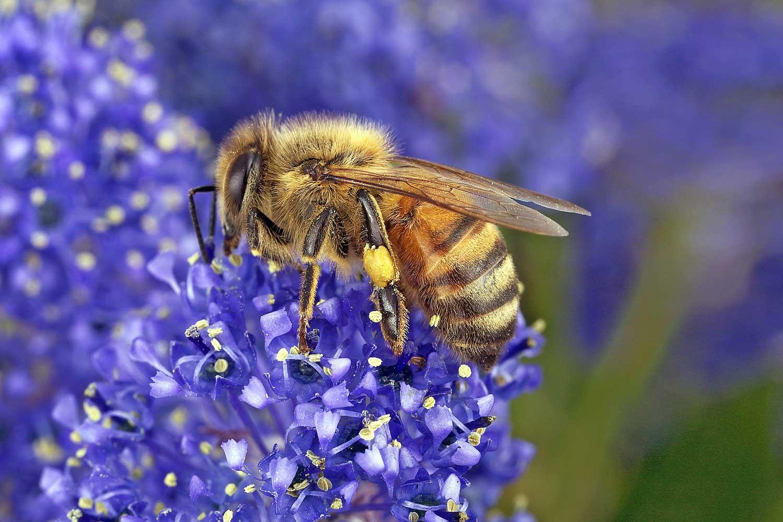 CSIRO_ScienceImage_3822_Bee_collecting_pollen.jpg