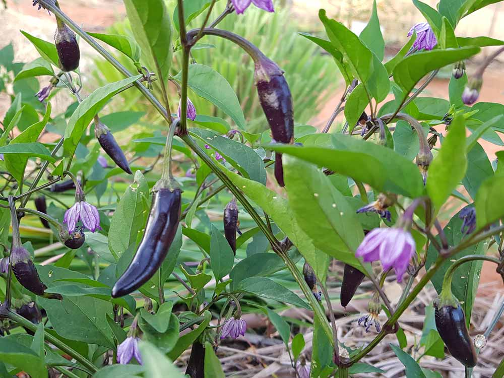 AR2018_General_Eggplant.jpg