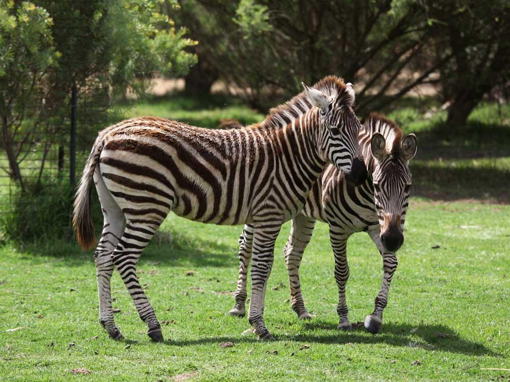 Zebras-Altina_DP_8.JPG