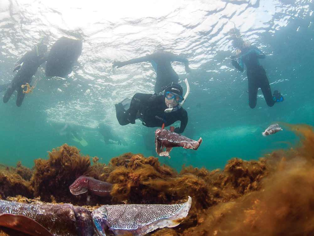 Whyalla-snorkelers-with-cuttlefish.jpg