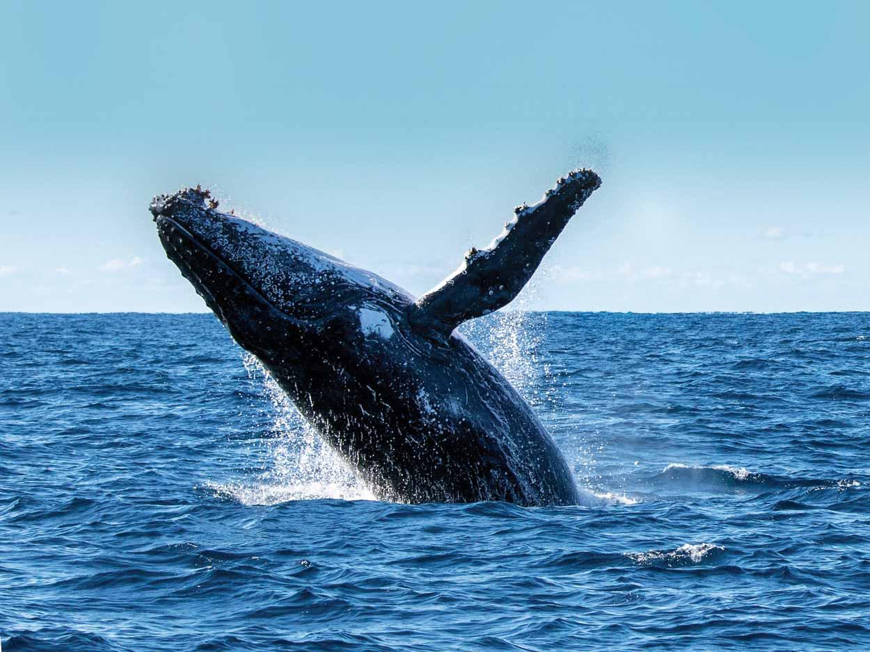 Humpback_Whales-ext.jpg