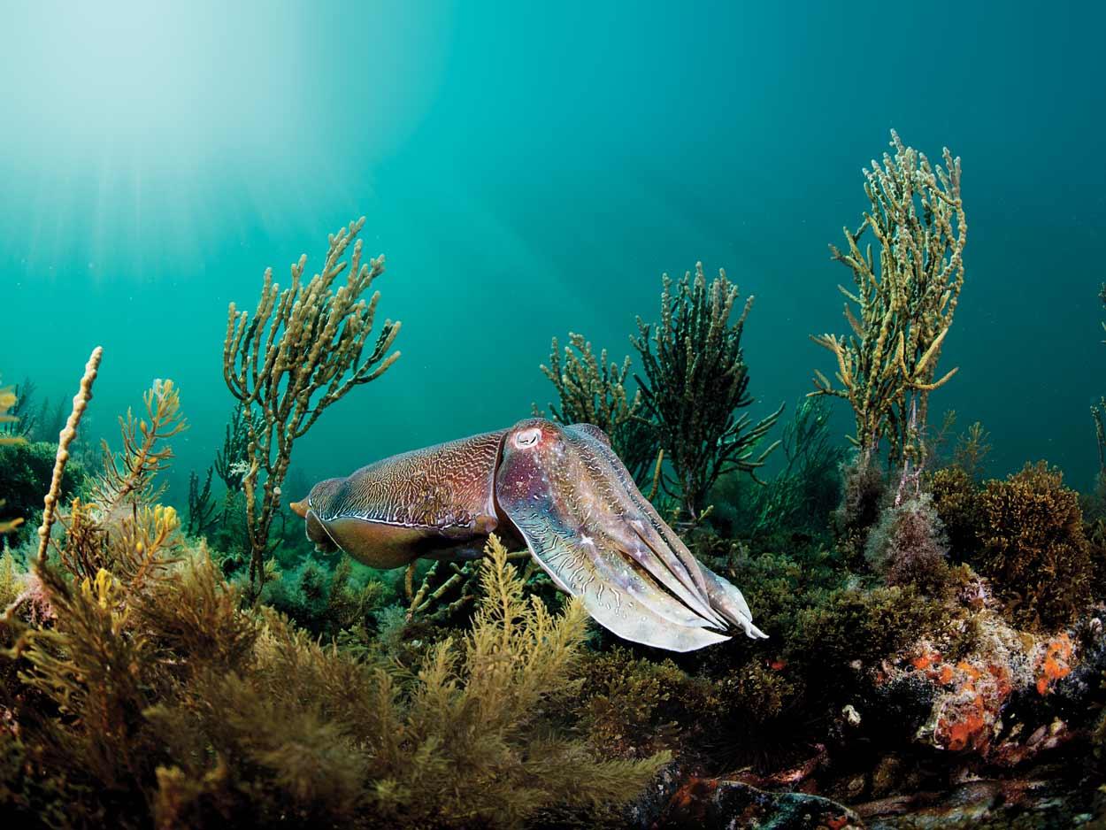 Whyalla-Cuttlefish-credit-Jayne-Jenkins_JJ35575.jpg