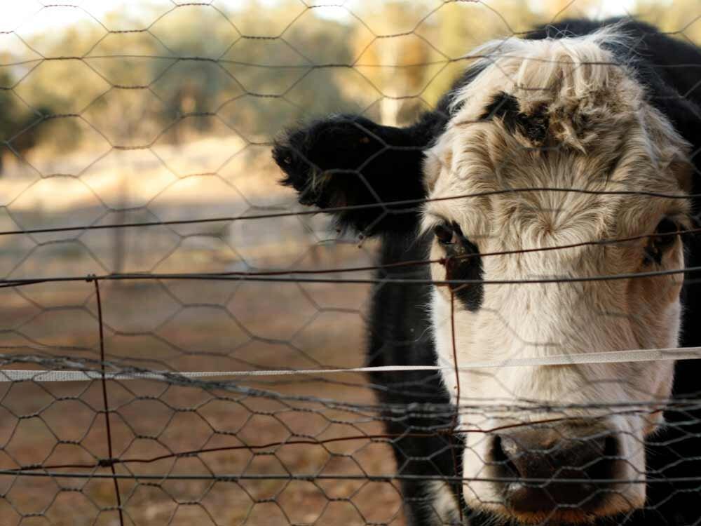Cow_Drought.jpg