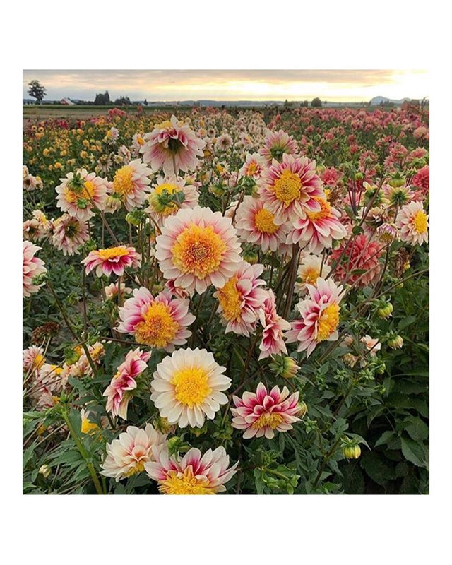 Weekend inspiration, in an incredible field of dahlias.