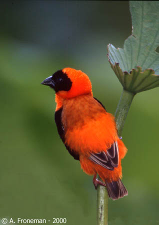 Male Red bishop in full nuptial plumage