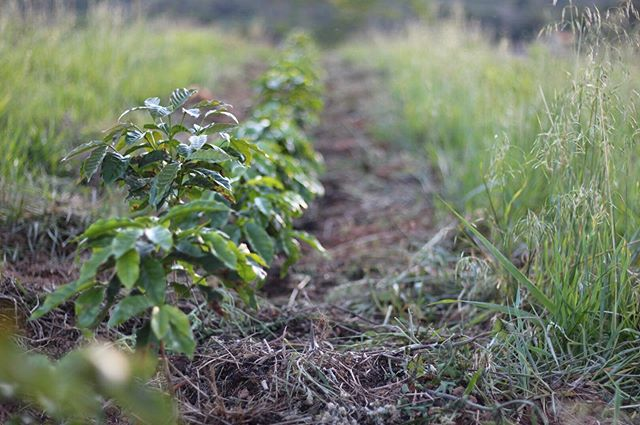 Baby coffee trees making our heart sing 💕