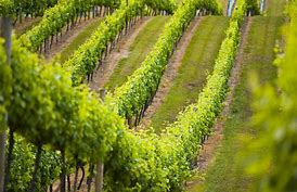 high rs bordeaux vineyard.jpg
