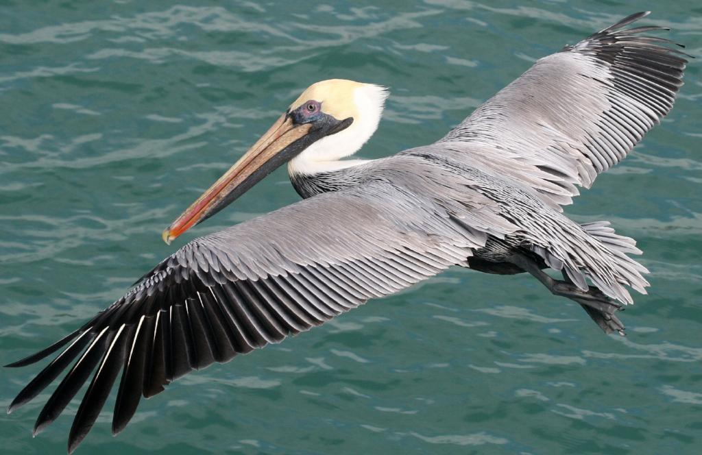 Brown Pelican, flying 3.jpg