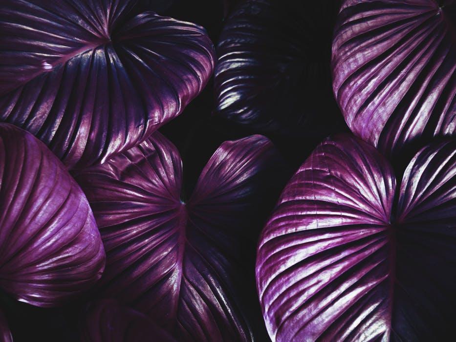 purple.leaves.jpeg
