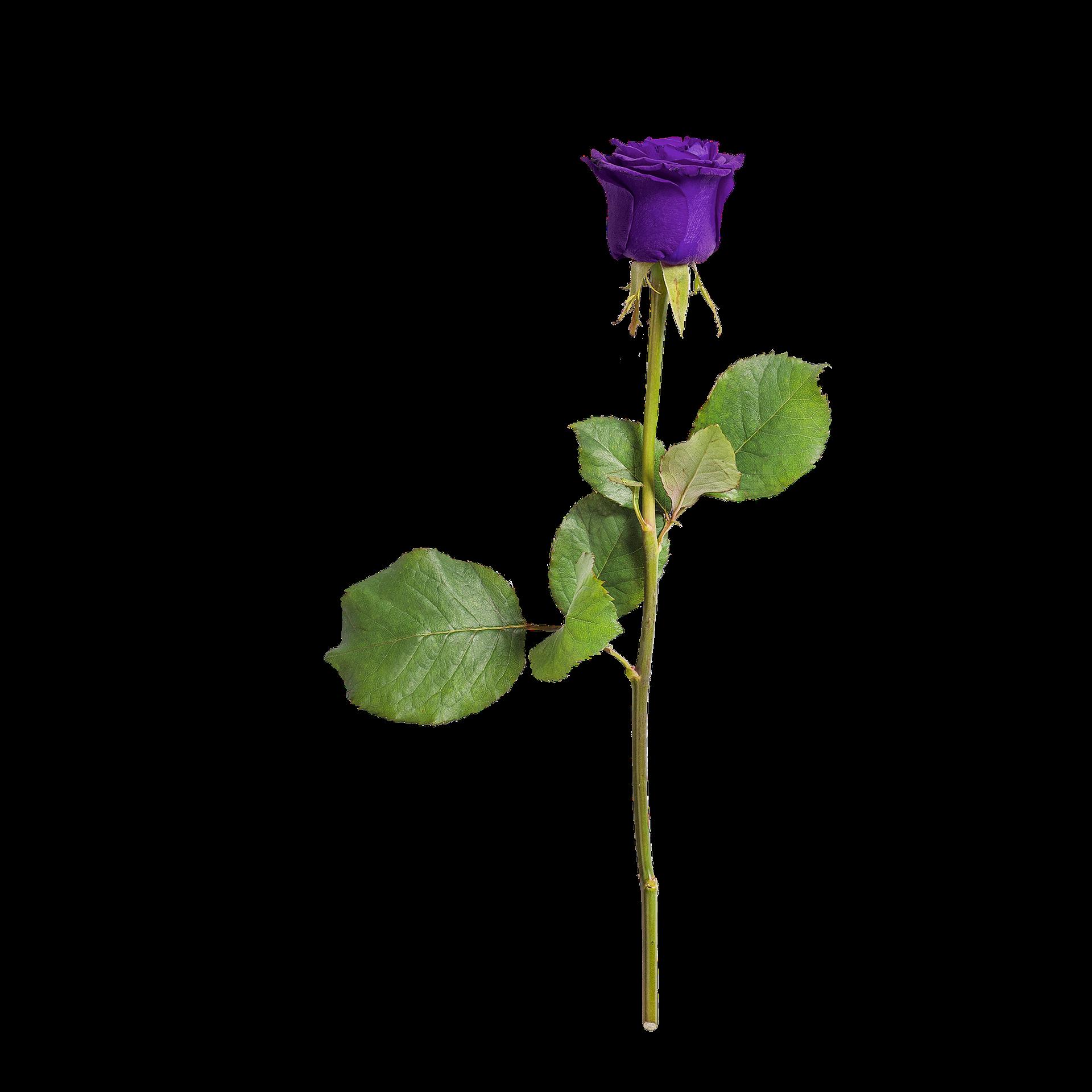 rose-3246277_1920.png