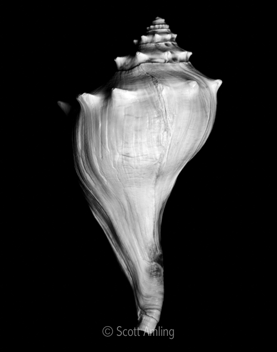 Lady Shell