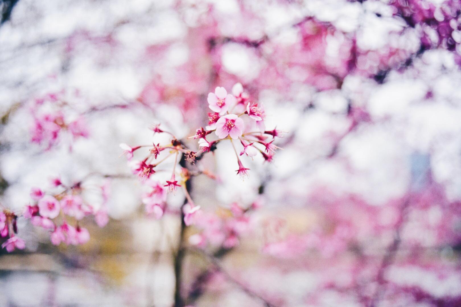 Sakura, Frankfurt, Germany