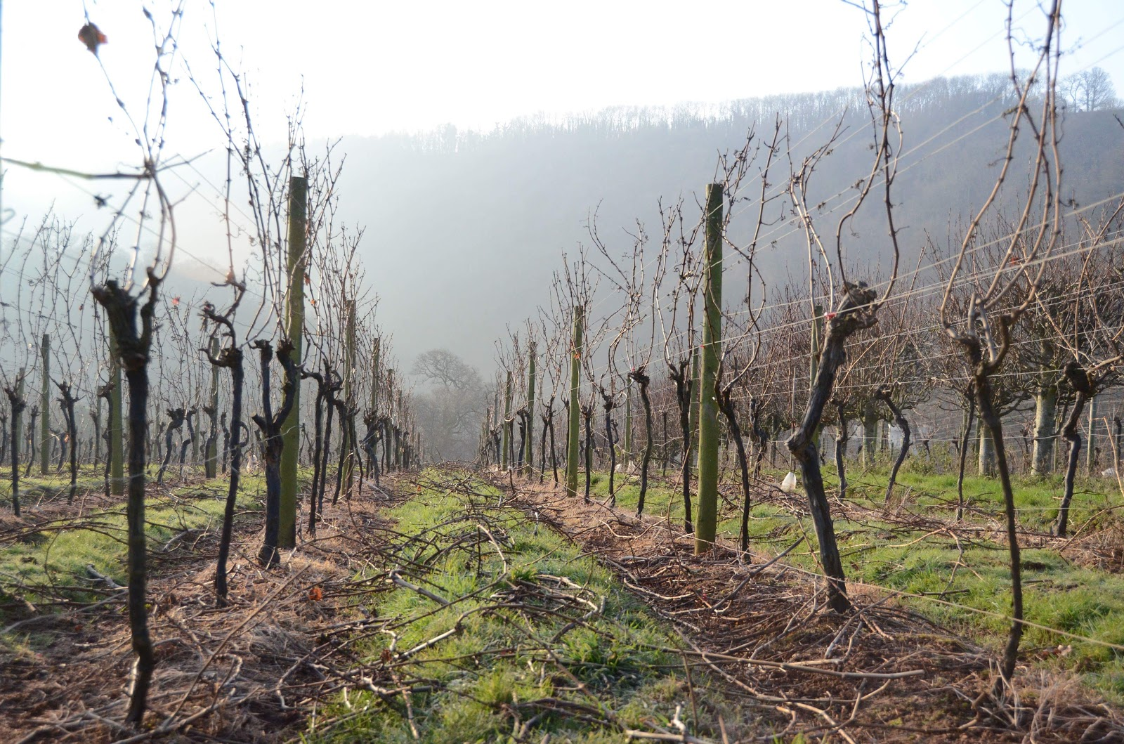 Freshly pruned vines in Devon.