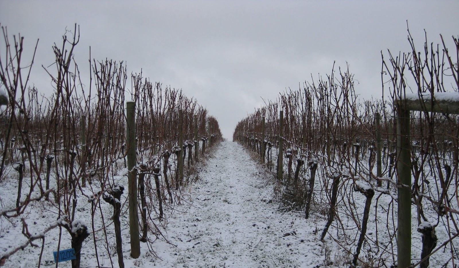Dormant Vines in Devon.