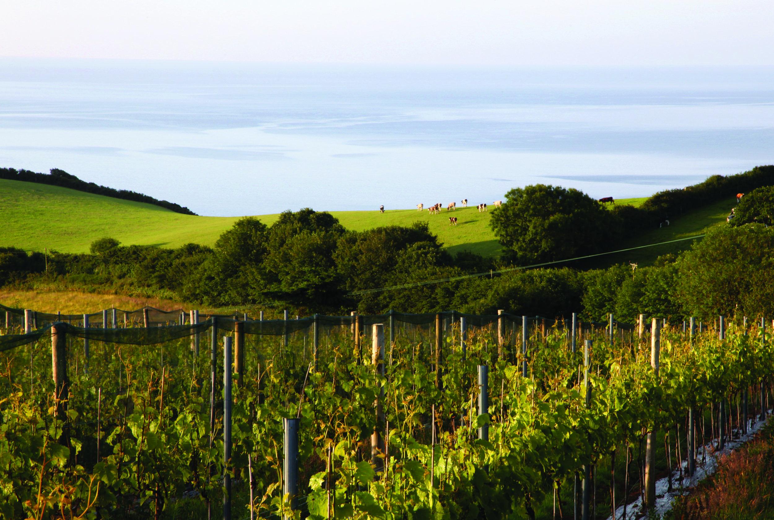 seaton vineyard.jpg