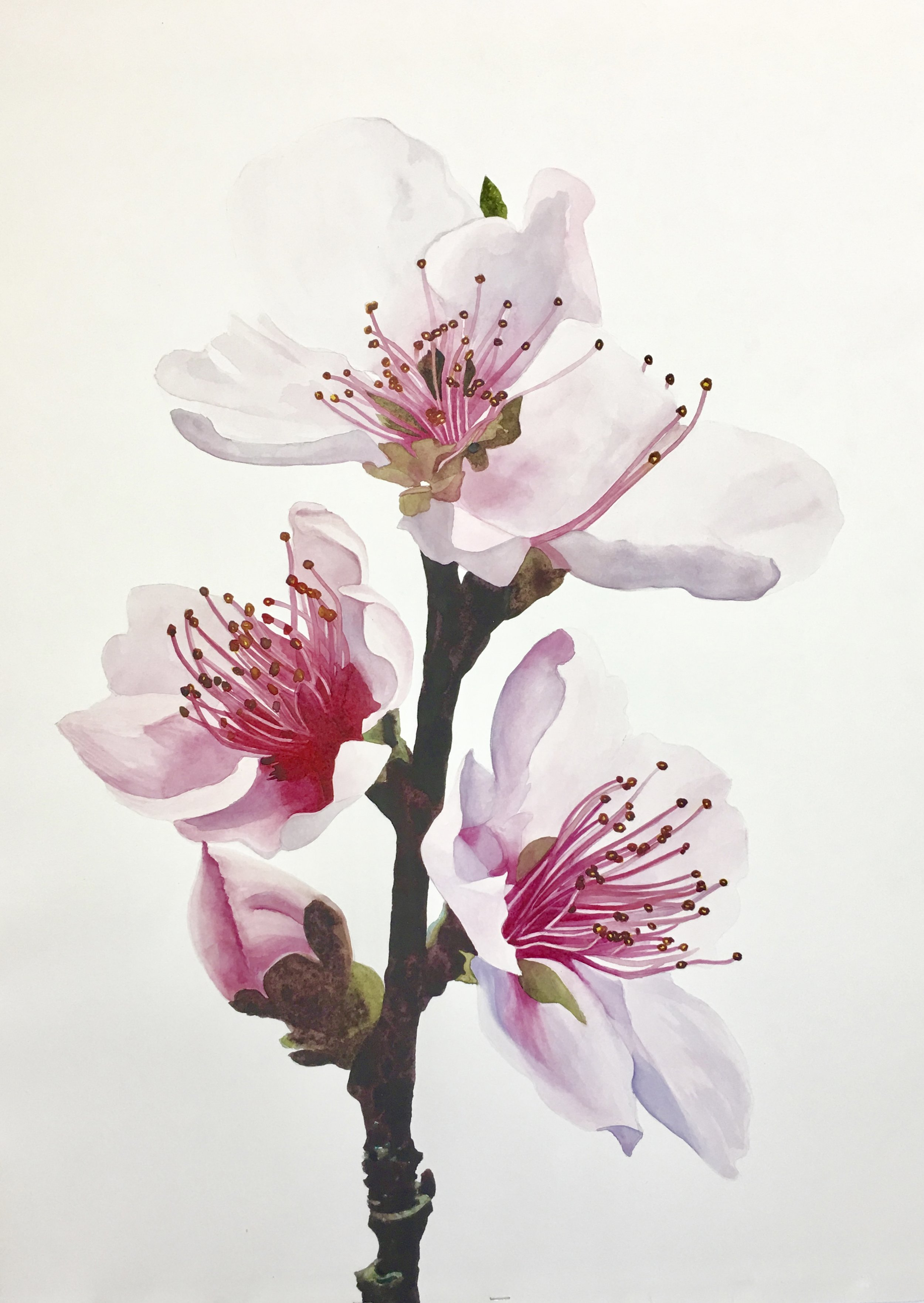 Cherry Blossoms by Charlene Collins Freeman