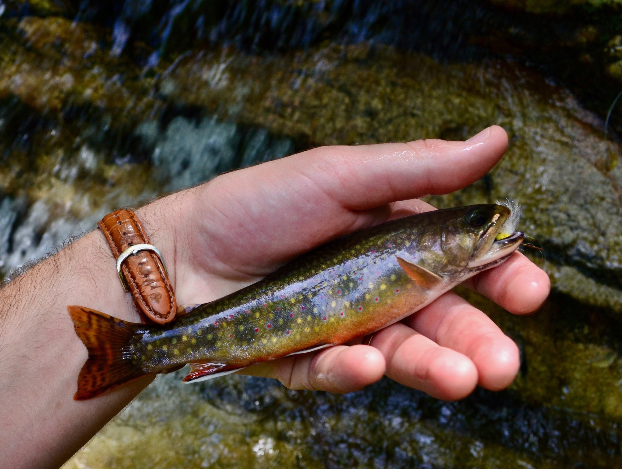 This healthy little Virginian brook trout was fooled with a foam fly right behind a large waterfall.