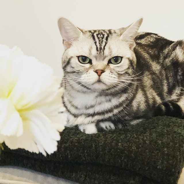 Chilling out on the last day of March! #catsofinstagram #catstagram #americanshorthair #romeo