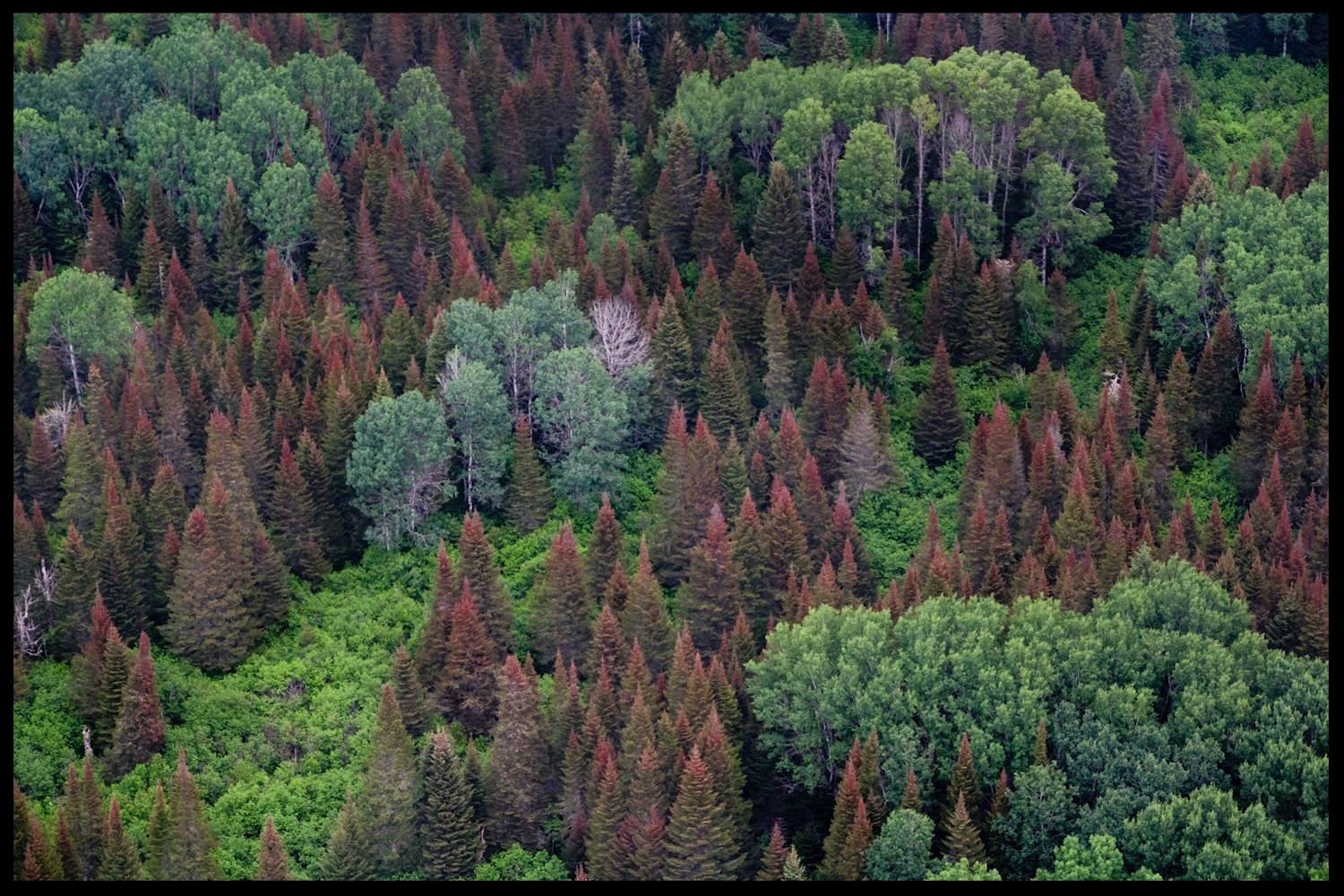Image courtesy of the Canadian Forest Service