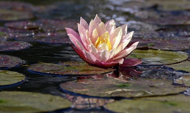 water-lily-1787002_640.jpg
