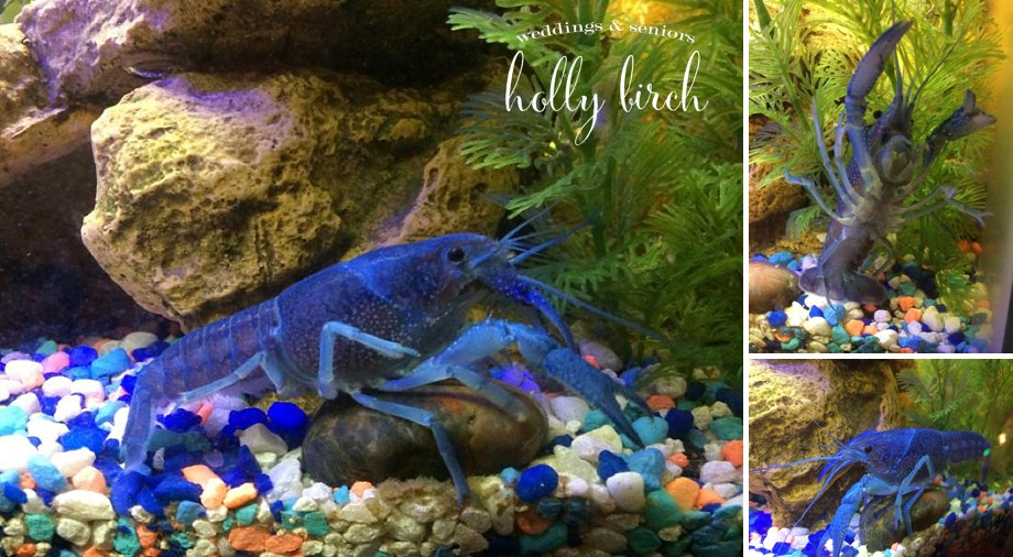 electric blue crayfish lobster