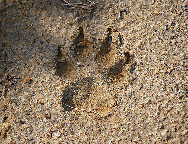 Fox tracks. Photo courtesy of survival.org.au