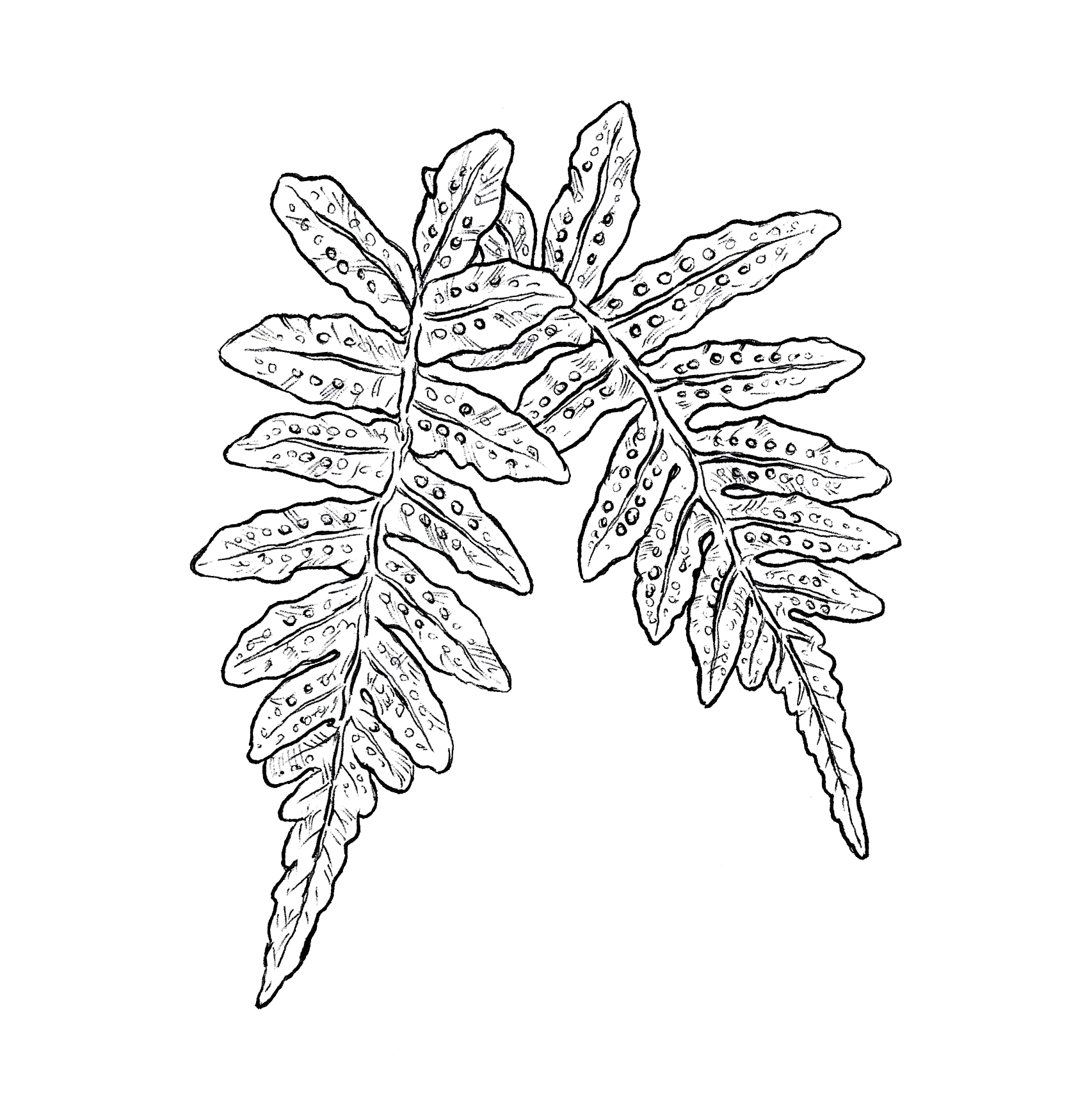 "- *Booked Western Polypody FernLocations; Up to youMinimum size: 4""Rate: HourlyNotes: Could be colored, shaded or left as it is."