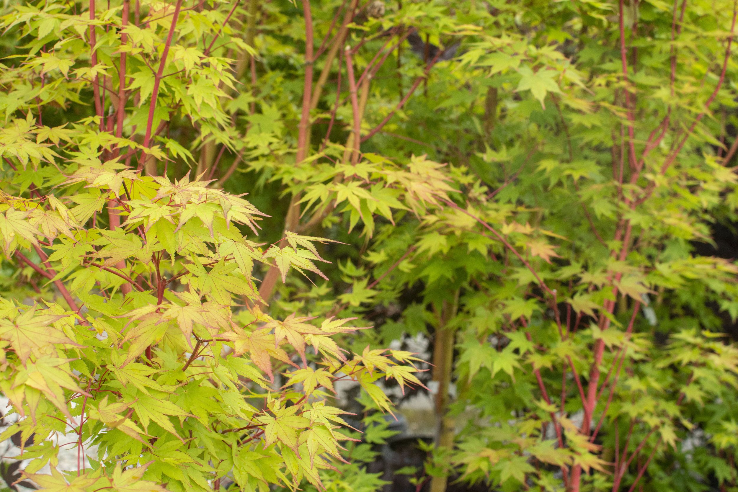 ACER p.'Beni Kawa' - Upright tree which grows easily in well drained soil. Loves full sun to part shade. Known for its salmon-red bark. Leaves green in spring and summer and golden-yellow in autumn.Mature size: 12-15' height and spread
