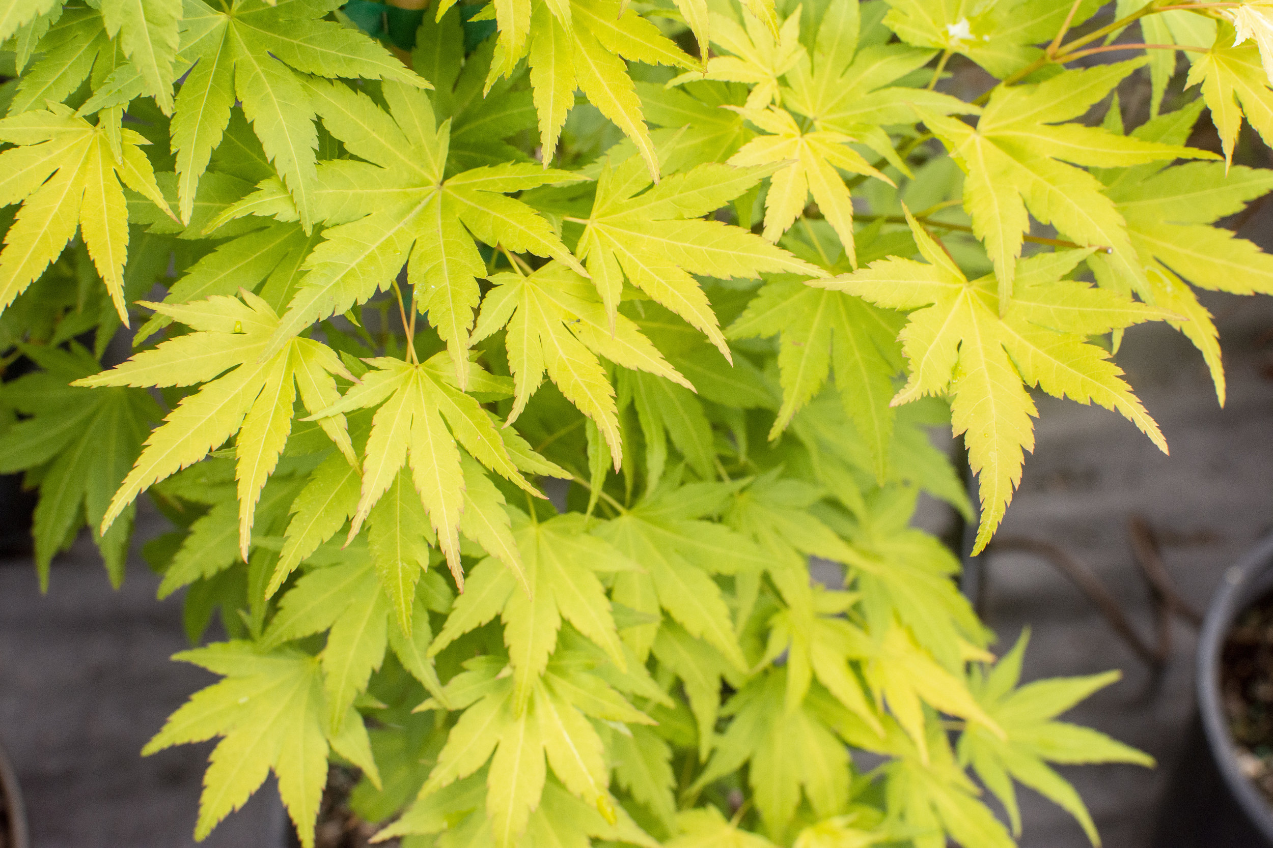 ACER p. 'Orange Dream' - Upright tree with golden-yellow leaves in spring, bright green in summer and orange-yellow in autumn.Mature size: 10'