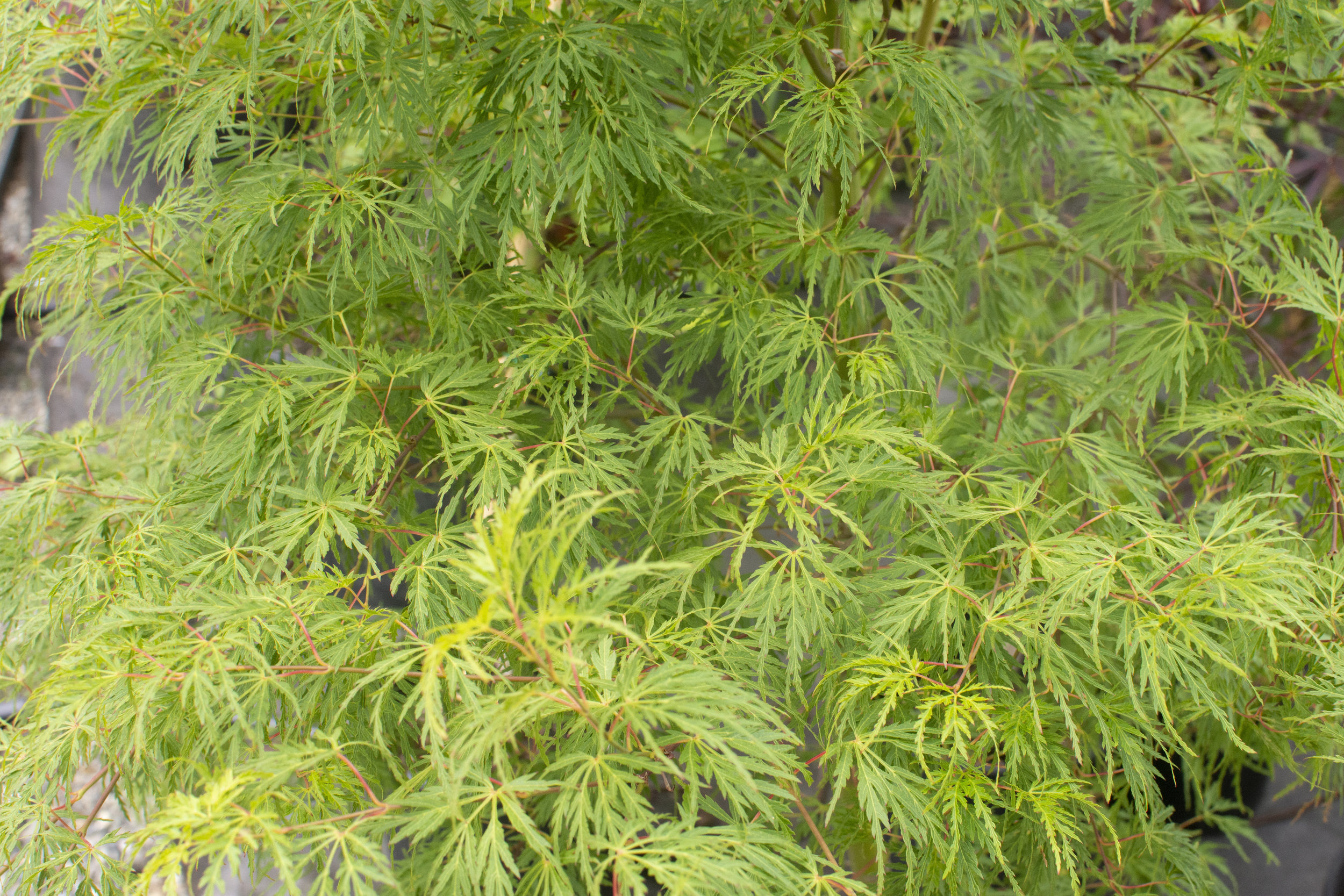 ACER p.'Seiryu' - Upright shape with light green leaves in spring. Dark green in summer, turning orange, yellow, and red in autumn.Mature size: 10-15'