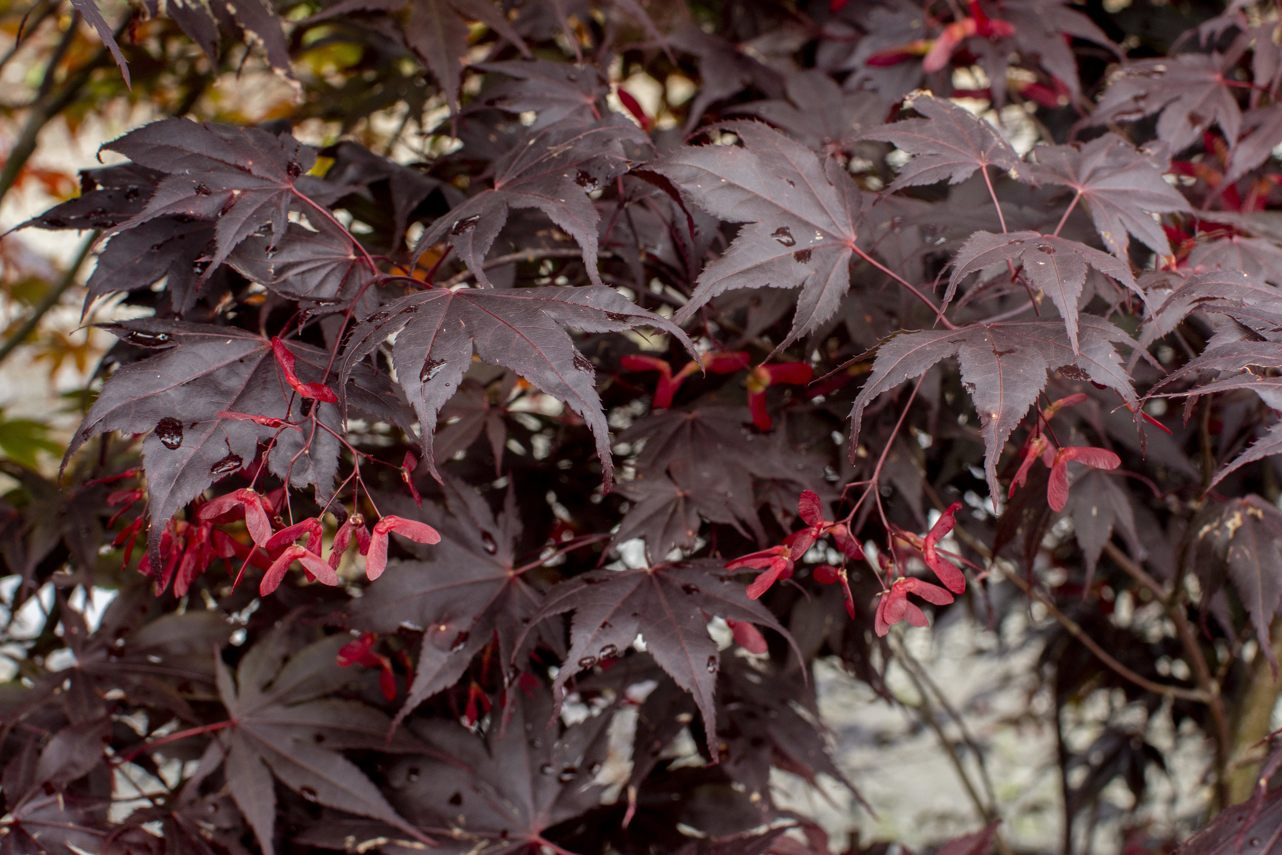 ACER p.'Bloodgood' - Upright tree with bright red leaves in spring. Burgundy black in summer. Black bark provides interest in winter.Mature size: 20'