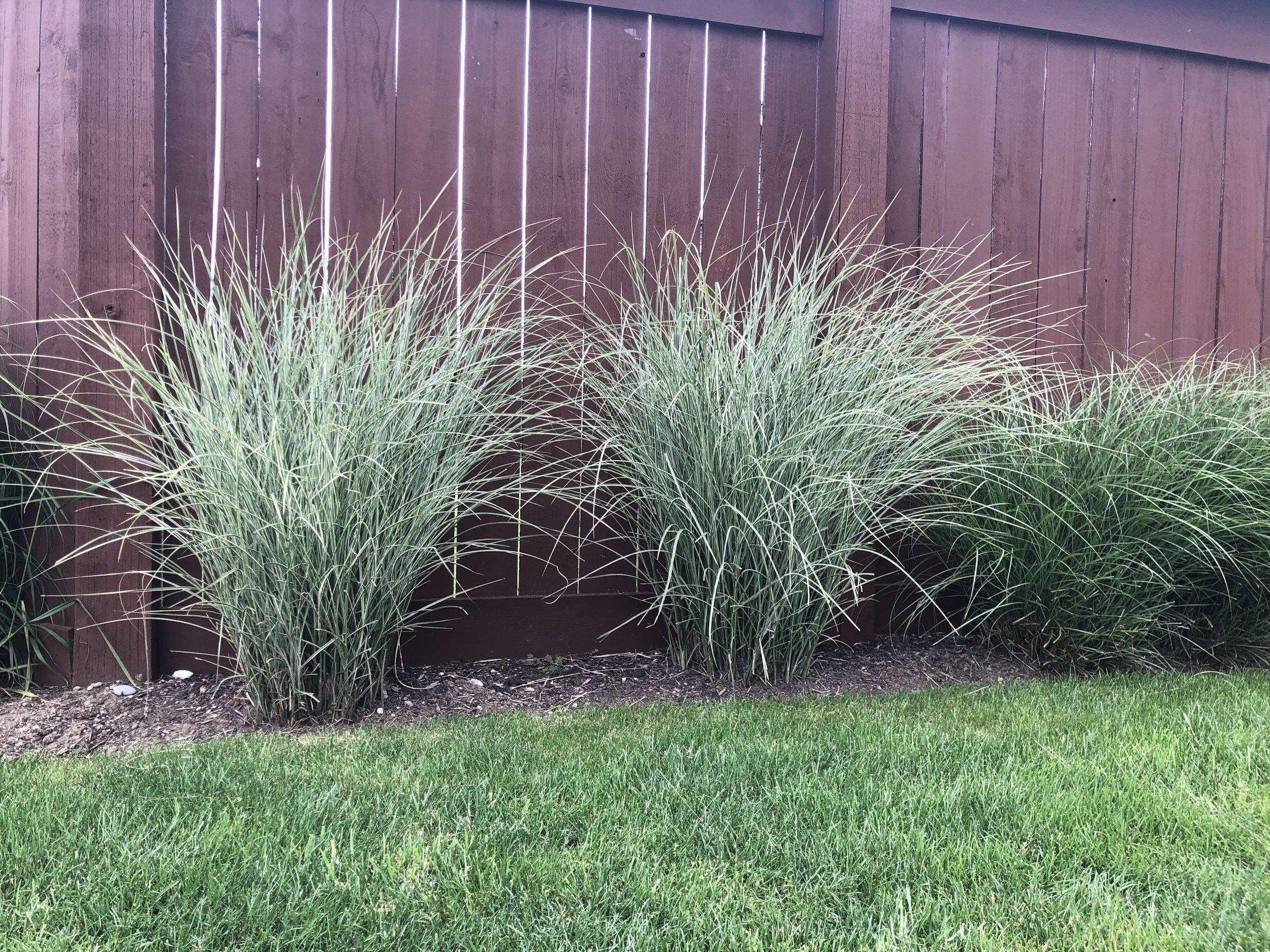'Morning Lights' maiden grass (Miscanthus sinensis)