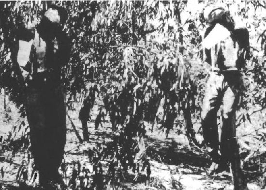 The bodies of Sergeants Martin and Paice hanging from eucalyptus trees after being executed by the Irgun the day before. Photo source: Wikipedia