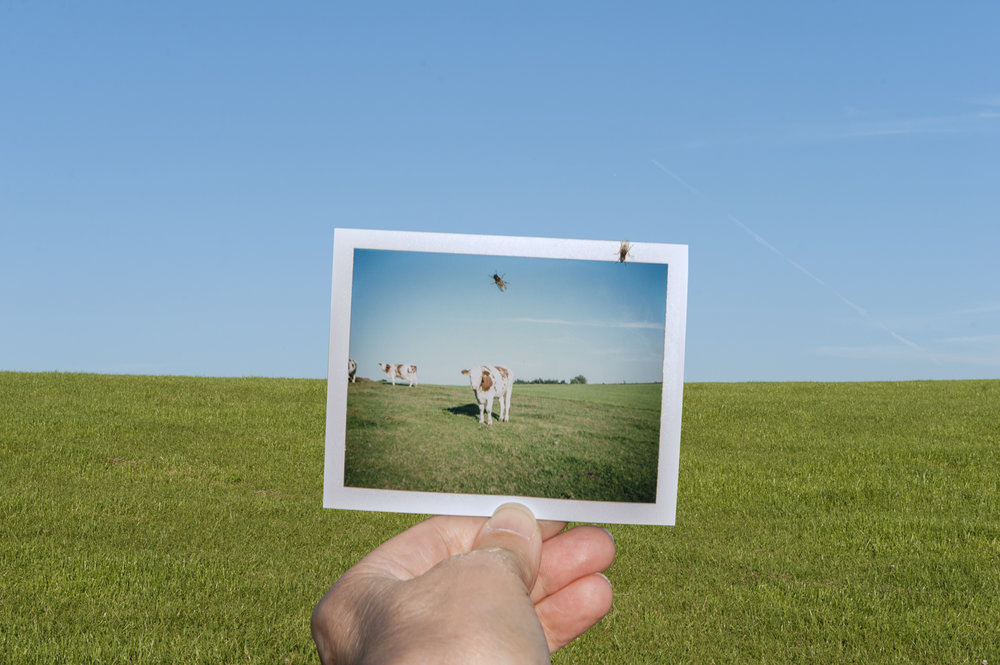 Photo Industrieverband, Bild im Bild, Polaroid, Kuh auf Wiese