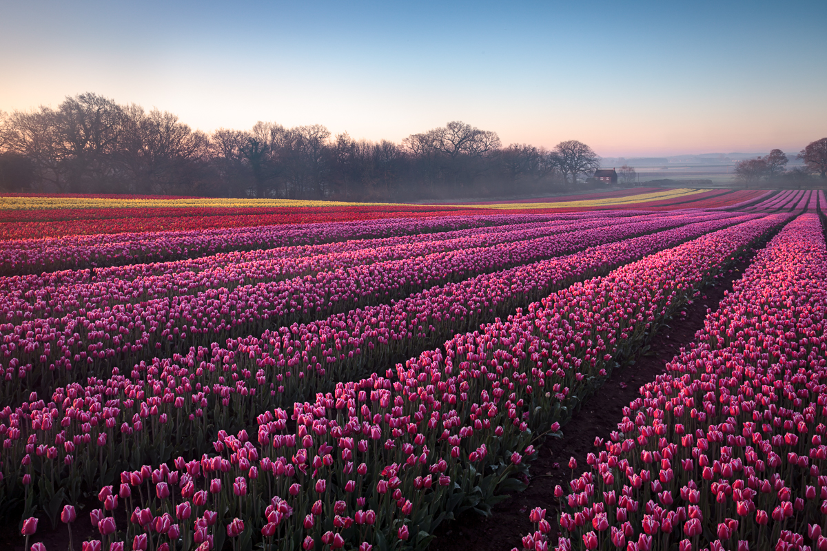 Tulips from Norfolk