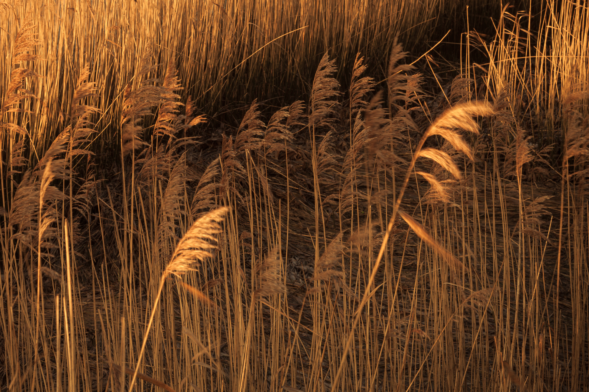 Light and shadows on the reed beds