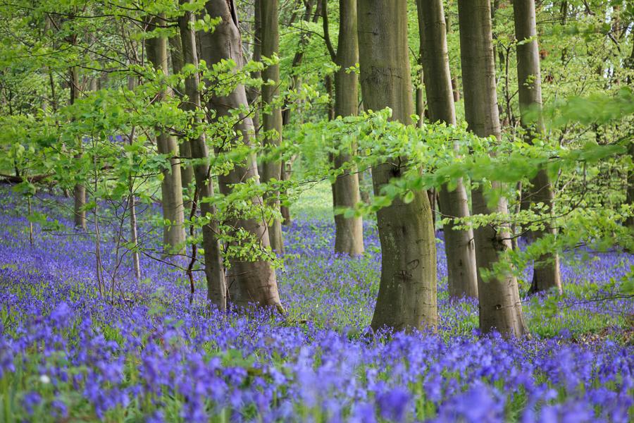 Bluebells in Blickling Great Woods, Norfolk