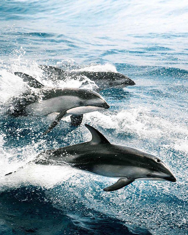"""Happy Sunday Friends! It's the last week of voting for the Crew Entrepreneur award, if you're feeling good go hit that vote button and comment """"done"""" below for another shout! Link in bio! No registration or yachting required! Ps. You can vote once a day! 🙌🏼 thanks! oh and these dolphins were epic, we had about 50 of them cruising with us yesterday! 📸 @sheltondupreez onboard @schmidtocean r/v Falkor . . . #dolphins #dolphin #wildlife #ocean #research #expedition #science #uniladadventure #adventuretime #oregon #marine #marinebiology #ocean #oceanexploration #pacific #oceanography #yachting #yacht #yachtlife #yachts #yachtie #yachtieworld #luxury #luxurylifestyle #luxurylife #luxuryyacht #luxuryyachts #superyacht #superyachts"""