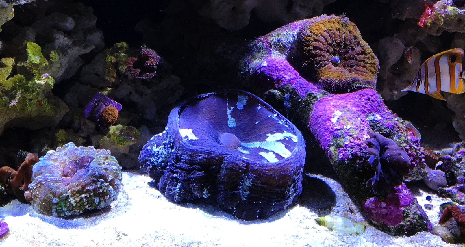 The purple monster upon introduction to my tank.
