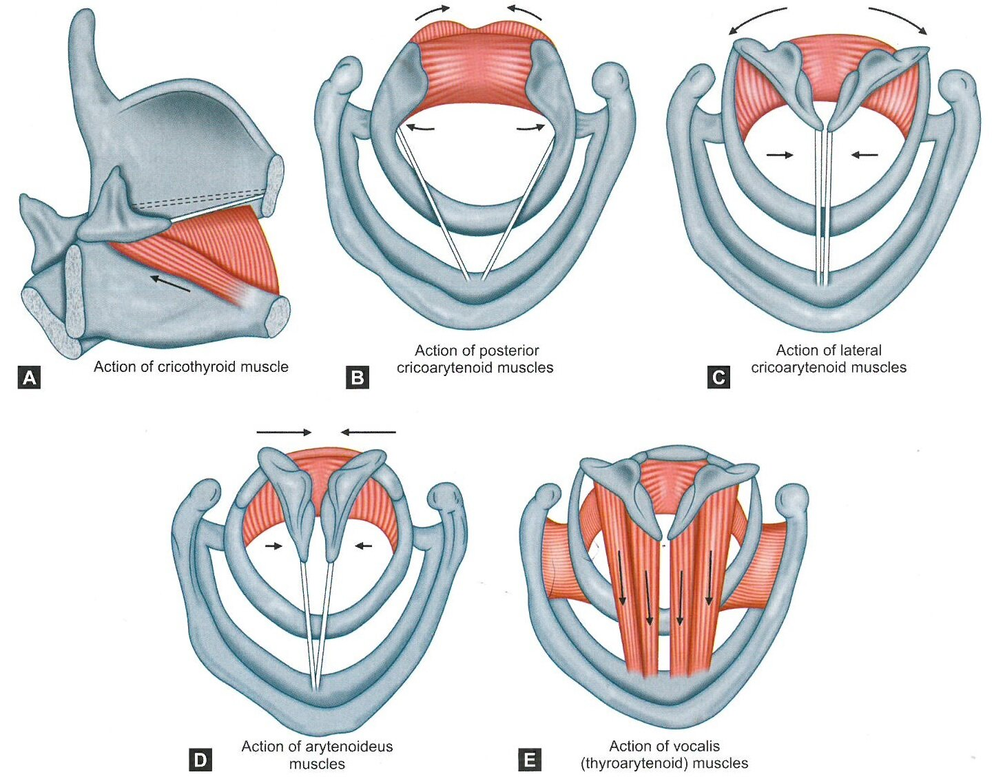 Actions of the intrinsic muscles. From Sataloff, R.T., Chowdhury, F., Portnoy, J., Hawkshaw, M.J., Joglekar S. Surgical Techniques in Otolaryngology – Head and Neck Surgery: Laryngeal Surgery. New Delhi, India: Jaypee Brothers Medical Publishers; 2013 with permission.