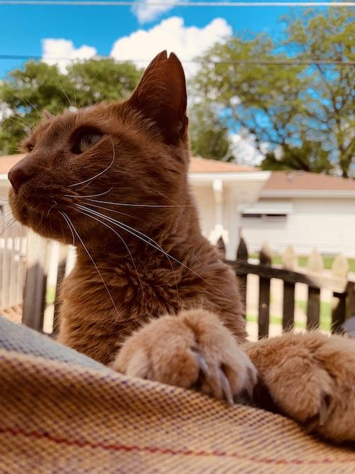 gorgeous orange cat